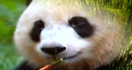 成都市政府 成都全球招募熊猫守护使
